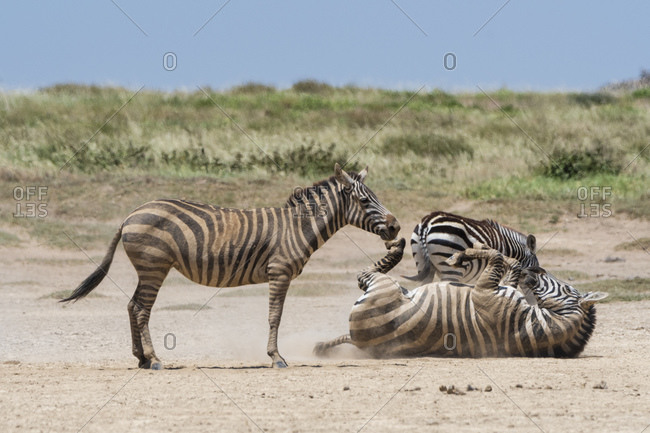 Plains zebras (Equus quagga) playing, Seronera, Serengeti National Park, Tanzania