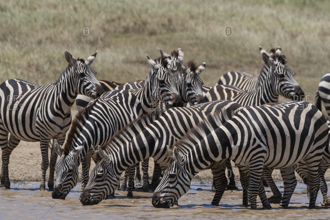 Zeal of plains zebras (Equus quagga) drinking at waterhole, Seronera, Serengeti National Park, Tanzania