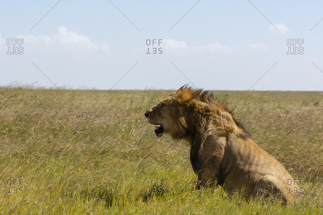 Male lion (Panthera leo), Seronera, Serengeti National Park, Tanzania