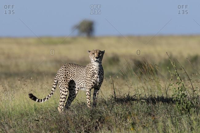 Cheetah (Acynonix jubatus) standing and surveying savannah, Seronera, Serengeti National Park, Tanzania