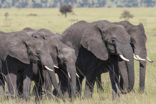 African elephant herd (Loxodonta africana), Seronera, Serengeti National Park, Tanzania