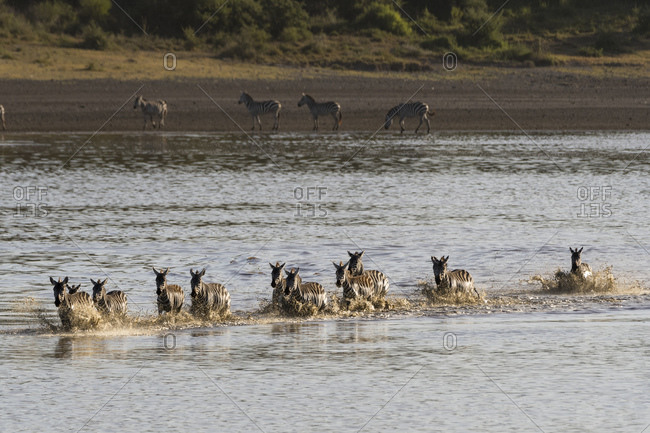 Migrating plains zebras (Equus quagga) running in lake, Ndutu, Ngorongoro Conservation Area, Serengeti, Tanzania