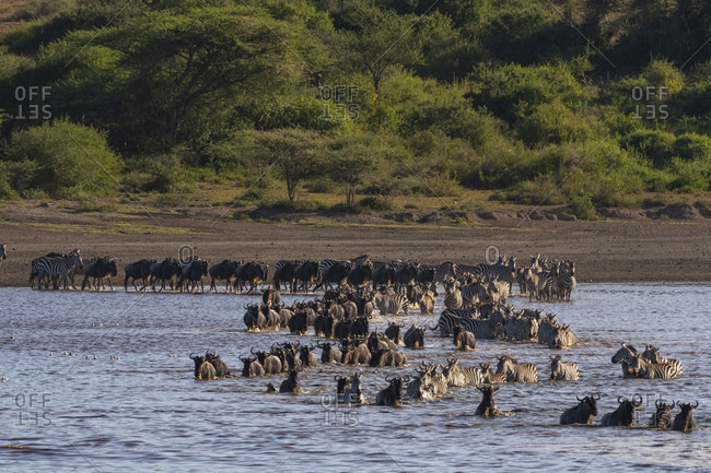 Migrating plains zebras (Equus quagga) and wildebeests (Connochaetes taurinus) crossing lake, Ndutu, Ngorongoro Conservation Area, Serengeti, Tanzania