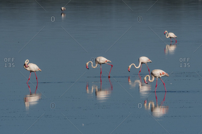Greater flamingos (Phoenicopterus roseus) feeding in lake, Ndutu, Ngorongoro Conservation Area, Serengeti, Tanzania