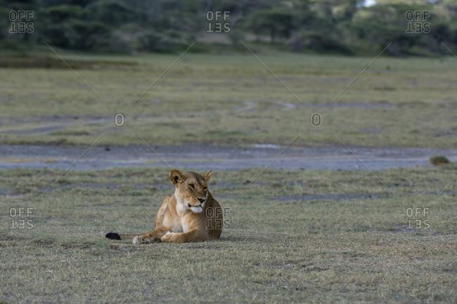Lioness (Panthera leo), Ndutu, Ngorongoro Conservation Area, Serengeti, Tanzania