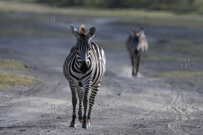 Two plains zebras (Equus quagga) walking on road, Ndutu, Ngorongoro Conservation Area, Serengeti, Tanzania