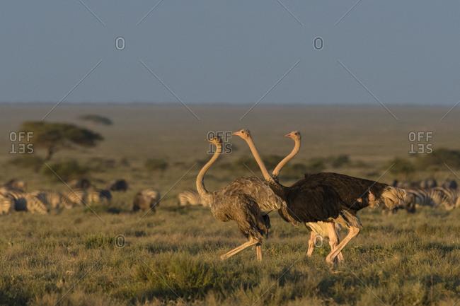 Ostrich (Struthio camelus massaicus), Seronera, Serengeti National Park, Tanzania