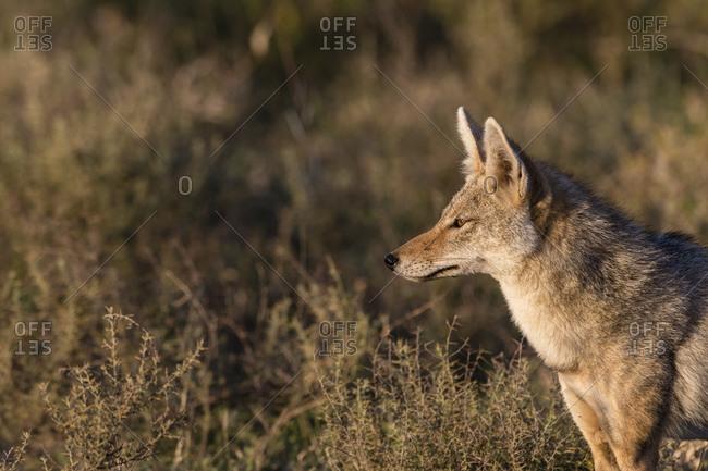 Alert golden jackal (Canis aureus), Ndutu, Ngorongoro Conservation Area, Serengeti, Tanzania