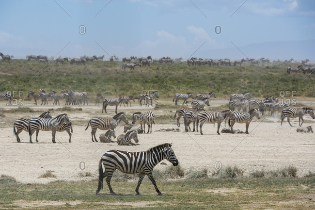 Zeal of plains zebras (Equus quagga), Ndutu, Ngorongoro Conservation Area, Serengeti, Tanzania