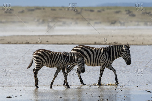 Plains zebras (Equus quagga), Ndutu, Ngorongoro Conservation Area, Serengeti, Tanzania