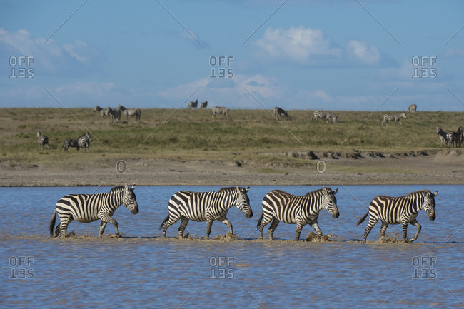 Migrating plains zebras (Equus quagga) walking in lake, Hidden Valley, Ndutu, Ngorongoro Conservation Area, Serengeti, Tanzania