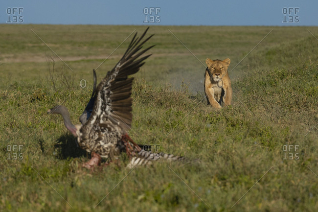 Lioness (Panthera leo) running to scare white-backed vulture (Gyps africanus) on carcass, Seronera, Serengeti National Park, Tanzania