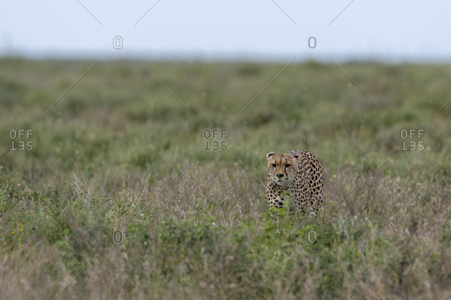 Cheetah (Acynonix jubatus) looking for prey at savannah, Seronera, Serengeti National Park, Tanzania