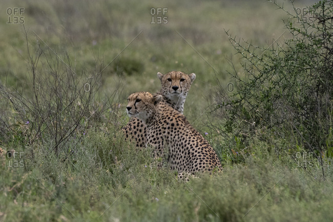 Two cheetah (Acynonix jubatus) relaxing while looking for prey at savannah, Seronera, Serengeti National Park, Tanzania