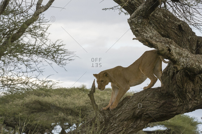 Lioness (Panthera leo) on tree, Ndutu, Ngorongoro Conservation Area, Serengeti, Tanzania