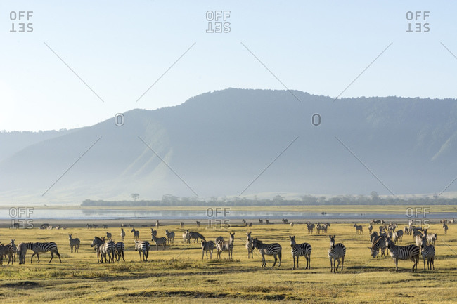 Zeal of common zebras (Equus quagga), Ngorongoro crater, Ngorongoro Conservation Area, Serengeti, Tanzania
