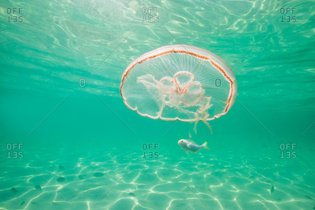 Moon jellyfish harboring baby fish for protection against predators