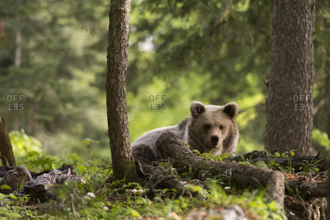 European brown bear (Ursus arctos) in Notranjska forest, Slovenia