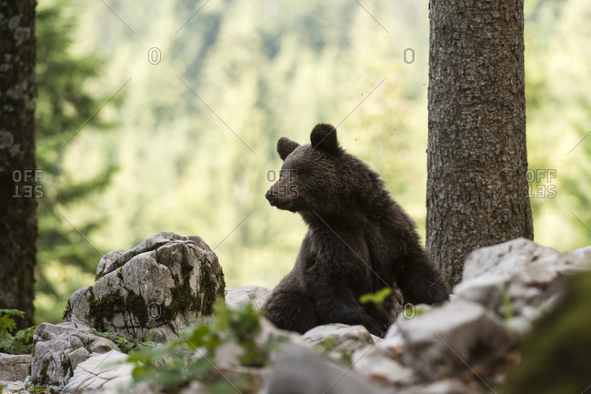 European brown bear (Ursus arctos) looking over shoulder in Notranjska forest, Slovenia