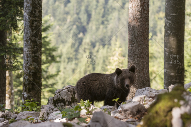 European brown bear (Ursus arctos) on rocky ground in Notranjska forest, Slovenia