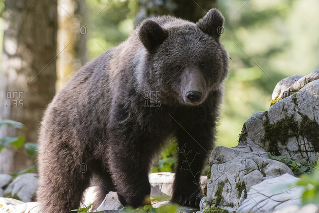 European brown bear (Ursus arctos) on rocks in Notranjska forest, Slovenia