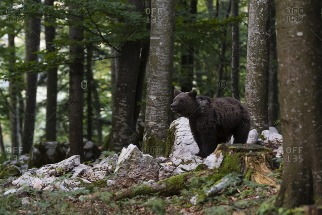 European brown bear (Ursus arctos) standing looking in Notranjska forest, Slovenia