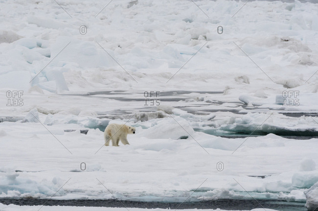 Polar bear (Ursus maritimus) on pack ice, Murchinson Bay, Murchisonfjorden, Nordaustlandet, Svalbard, Norway