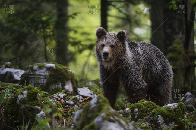 European brown bear (Ursus arctos) walking in Notranjska forest, Slovenia