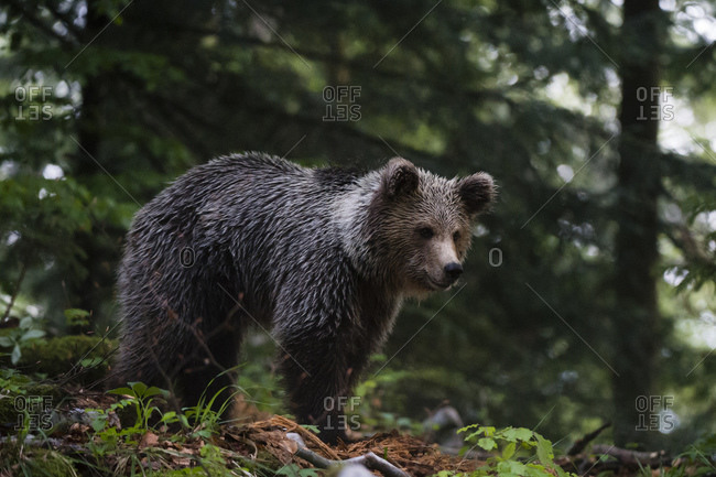 European brown bear (Ursus arctos) looking down in Notranjska forest, Slovenia