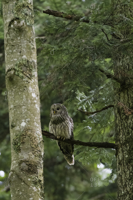 Ural owl (Strix uralensis) perched in tree, Notranjska forest, Slovenia