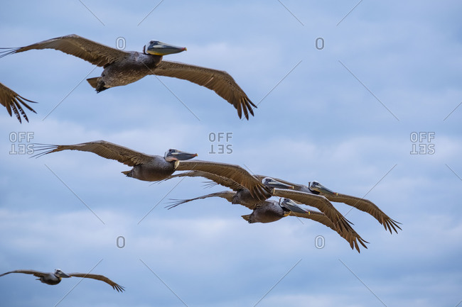 Small group of seabirds flying in sky, low angle side view