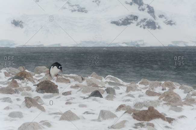 Gentoo penguin (Pygoscelis papua) walking on rocky beach, Neko Harbor, Antarctica