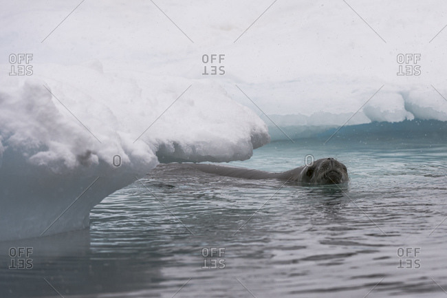 Crabeater seal (Lobodon carcinophaga) swimming in sea, Wilhelmina Bay, Antarctica
