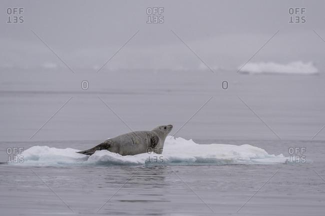Crabeater seal (Lobodon carcinophaga) resting on ice, Wilhelmina Bay, Antarctica