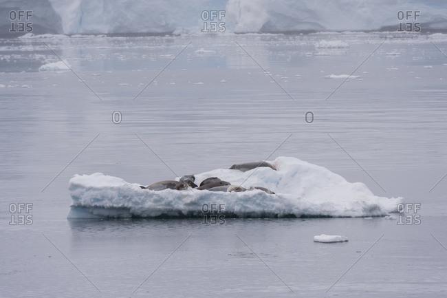 Crabeater seal (Lobodon carcinophaga) resting on ice, Gerlache Strait, Antarctica