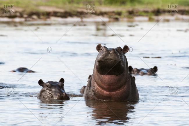 Hippopotamuses (Hippopotamus amphibius) in river, Khwai Concession, Okavango Delta, Botswana