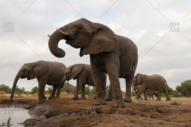 Herd of African elephant (Loxodonta africana), Mashatu Game Reserve, Botswana
