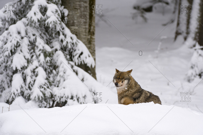 Gray wolf (Canis lupus), Captive, Bavarian Forest National Park, Bavaria, Germany