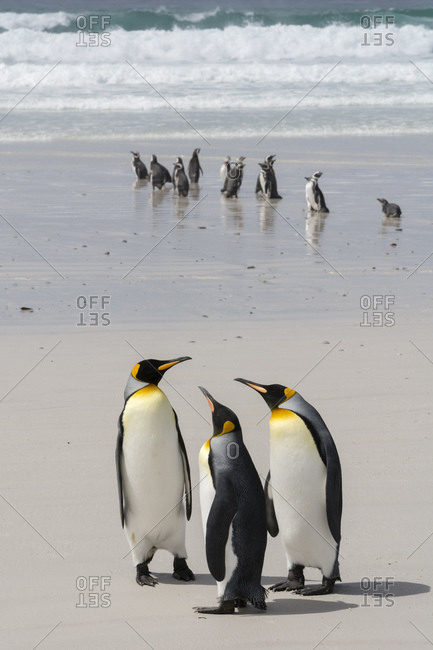Three King penguins (Aptenodytes patagonica), and Magellanic Penguins (Spheniscus magellanicus) on beach, Falkland Islands