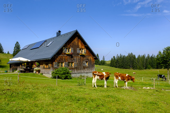 Germany- Bavaria- Swabia- Allgau- Nagelfluhkette Nature Park- Cows in field in front of wooden house