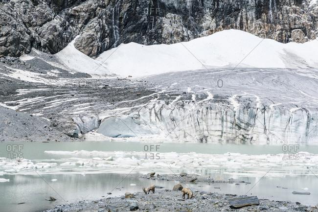 Ibexes near melting glacier against mountain