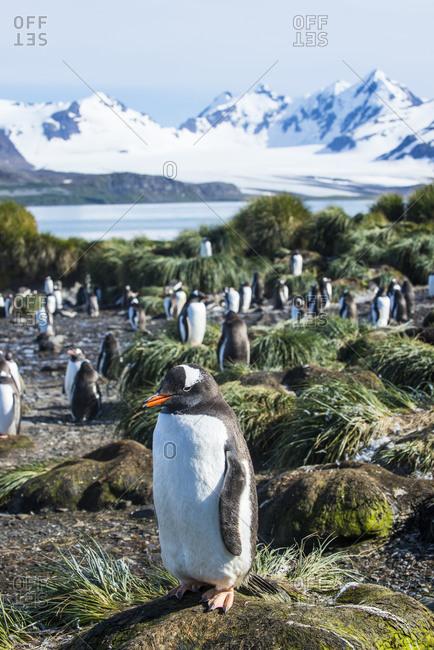 UK- South Georgia and South Sandwich Islands- Gentoo penguin (Pygoscelis papua) colony on Prion Island