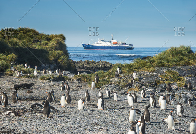 UK- South Georgia and South Sandwich Islands- Gentoo penguin (Pygoscelis papua) colony on Prion Island with cruise ship in background