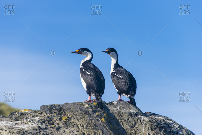 Two imperial shags (Leucocarbo atriceps) standing side by side