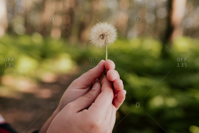 Cropped unrecognizable person holding a fluffy dandelion flower in green garden on sunny day and looking at camera