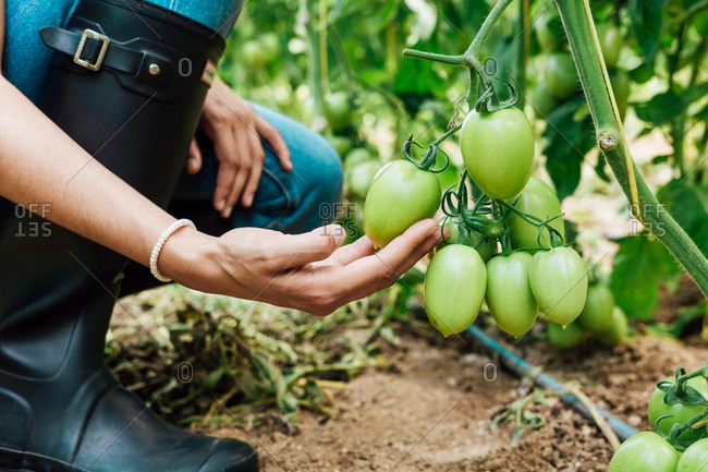 Side view of young pensive female horticulturist in denim overalls touching bunch with unripe tomatoes while squatting near bright tomato tree in greenhouse