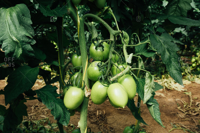 From above of bunch of oval unripe tomatoes growing on thick stalk on bush with large leaves above sandy terrain in greenhouse