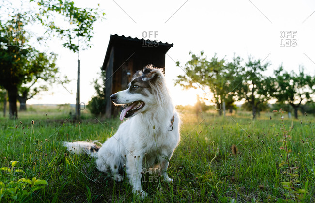 Friendly Border Collie sitting on grass and looking away during sundown in summer