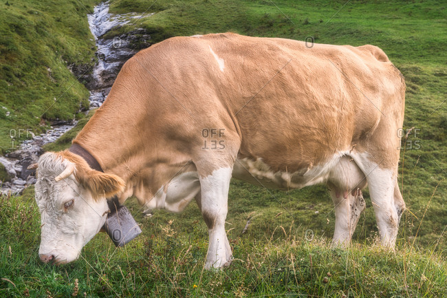 Side view of brown cow with bell grazing on green meadow near narrow water flow on hill in afternoon in countryside