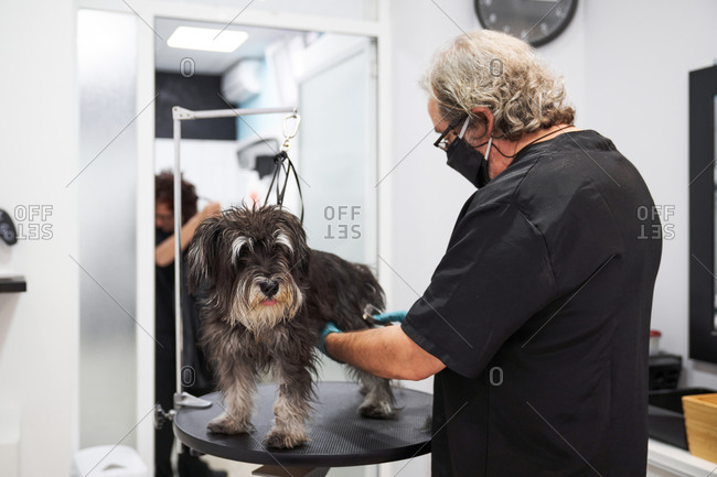 Side view of professional male groomer in mask combing fluffy Schnoodle dog on table in salon